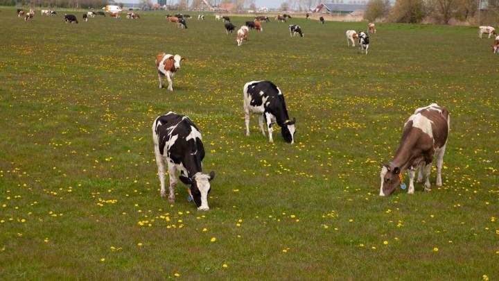 De koeien van mts. Bouma met rechtsboven de boerderij (met de zonnepanelen op het dak van de stal).